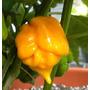 Sementes De Pimenta Trinidad Scorpion Yellow Amarela Rara