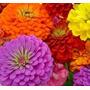 40 Sementes Da  Flor Zínia  Liliput Sortida Frete Grátis