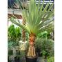 Palmeira Pandanus Com 60 Cm De Altura