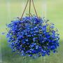 6000 Sementes De Lobélia Azul P/ Mudas Flores Jardim E Vaso