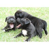 Staffordshire Bull Terrier Filhotes Com Excelente Pedigree