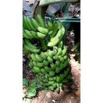 Super Banana Anã Jardim Vasos 3 Rizomas Mudas Sementes Dna