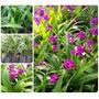 Muda Orquídea Terrestre - Spathoglottis Unguiculata - Flores