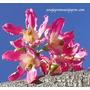 1 Estaca -muda-paineira Rosa-bonsai