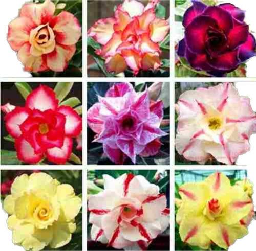 10 Sementes Rosa Deserto Mix Dobradas.