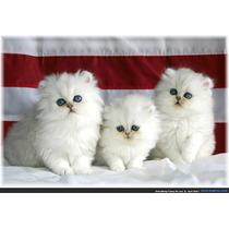 Filhotes Legítimos De Gato Persa Para Sp Em 12 X Sem Juros
