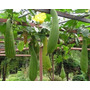25 Sementes Da Bucha Vegetal Com Frete Grátis