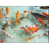 10x Carpas Koi 10cm + Frete Grátis Peixes Lagos Aquário