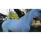 Cavalo Mangalarga Marchador Camurupim Da Água Boa