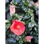 Mudas De Hibisco Plantados Em Saquinhos,a Maioria Com Flor