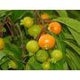 Sementes Gabiroba Rugosa+manual De Cultivo- 30 Sementes