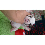 Bulldog Francês Filhote Macho French Pedigree Cbkc Dog Pet