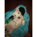 Filhote De Pit Bull American Terrier