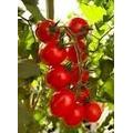 100 Sementes De Tomate Cereja Vermelho Cerejinha Trepador
