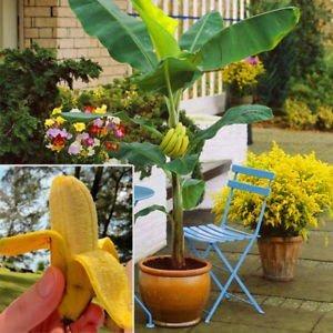 Kit 50 Sementes Mini Banana  Sortidas Para Mudas