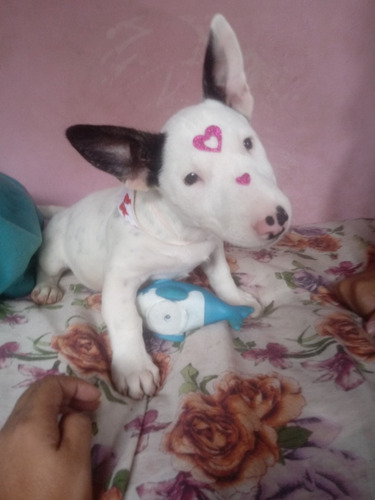 Linda Femea De Bull Terrier Com Pedigree