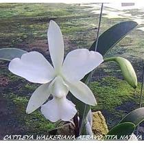 Cattleya Walkeriana Alba Vo Tita Planta Nativa