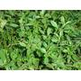 10 Sementes De Manjerona Para Plantio