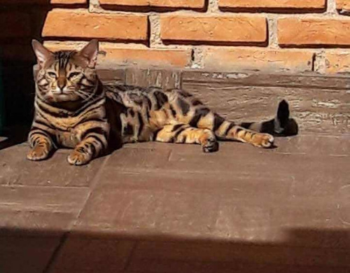 Gato Bengal - Filhotes De Bengal - Mini Onça- Tigre