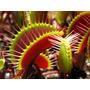 10 Sementes Planta Carnívora + Frete Grátis
