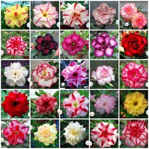 Kit 60 Sementes Rosas Do Deserto E Raras P Mudas Em Jardim