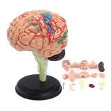Cérebro Modelo Aprendizagem Resources Anatomia Humano Médico