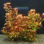 Planta L13 Ludwigia Repens (rubin) - Aquapet