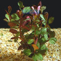 Planta L11 Ludwigia Ovalis - Aquapet