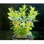 Planta L18 Ludwigia Brevipes - Aquapet