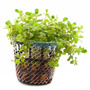 Planta R10 Rotala Sp. (francisco) - Aquapet