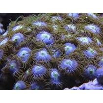 Corais Para Aquario Marinho - Pacote De Corais Com 12 Mudas.