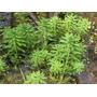 Myriophyllum Aquaticum Green Planta Aquario E Lagos