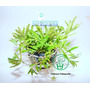 Planta P5 Pogostemon Helferi - Aquapet