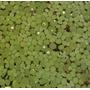 Salvinia Auriculata Planta Flutuante Aquática Aquarios Lagos