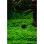 Plantas Para Aquário Hemianthus Calitrichoides Placa 10x10cm