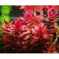 Plantas Aquáticas Rotala Macandra 6 Ramos