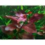 Ludwigia Repens Rubin Frete Fixo R$8,00 Brindes Plantas