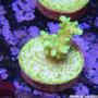 Corais Marinhos Vivos - Mudas De Qualidade, Envio Legalizado