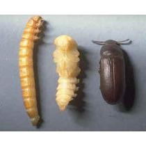 Besouro Do Amendoim - Palembus Dermestoides (frete Gratis)