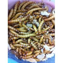 100 Bicho Do Pão Larva Verme Tenebrio - Melhor Frete