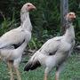 Ovos De Galinhas Gigantes Osasco Sorocaba Grande Reprodutor