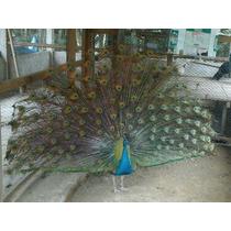 Pavão Azul - Enviamos Para Todo Brasil
