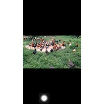 Galinhas Caipira Frances- Caipirão 9/kg