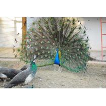 Pavão Azul - Divinópolis, Minas Gerais E Região