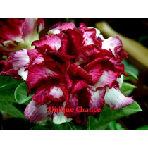 Adenium Obesum 220 Sementes Raras (22 Cores) Rosa Do Deserto