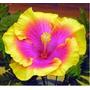 Hibiscus Kit Raro ( 6 Cores - 18 Sementes) Rosas Flores
