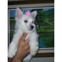 Fêmea - West Highland White Terrier - Pedigree Cbkc
