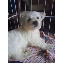 Macho - West Highland White Terrier - Pedigree Cbkc