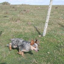 Australian Cattle Dog Macho Iniciado No Pastoreio De Bovino