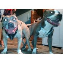 Filhote American Staffordshire Terrier Blue